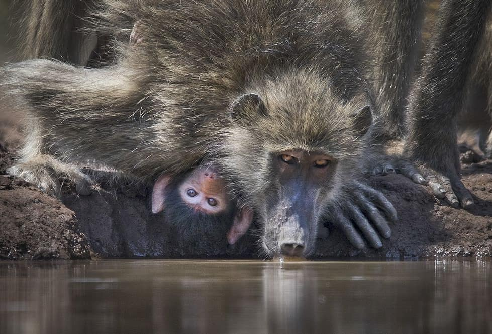 Baboon taking baby to the water hole