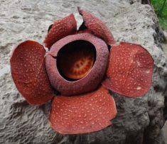 Bloom of Rafflesia speciosa from Barangay Ongyod, Miagao, Iloilo, Philippines