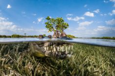 American crocodile in mangrove, Cuba – Most Beautiful Picture