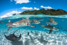 Swimming with sharks, French Polynesia
