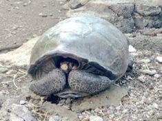 Chelonoidis Phantasticus, turtle