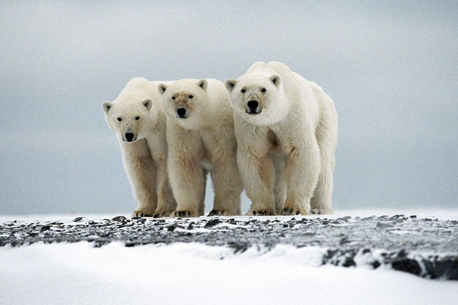 Female polar bear and her two cubs on Wrangel Island, Arctic, Russia