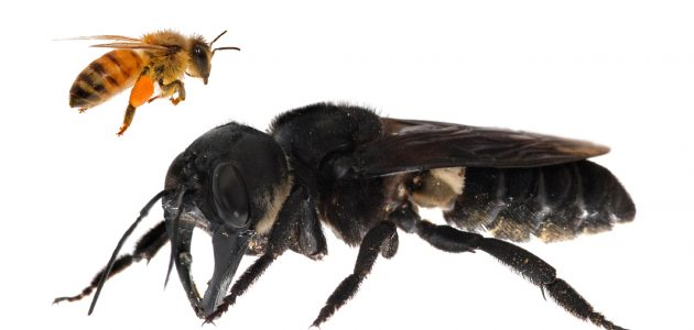Rediscovering Wallace's Giant Bee: In search of Raja Ofu, the king of bees | Global Wildlife Con ...