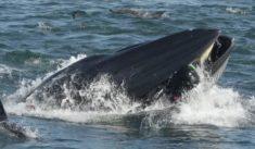 Afrique du Sud : un plongeur avalé par une baleine – Les Baleines