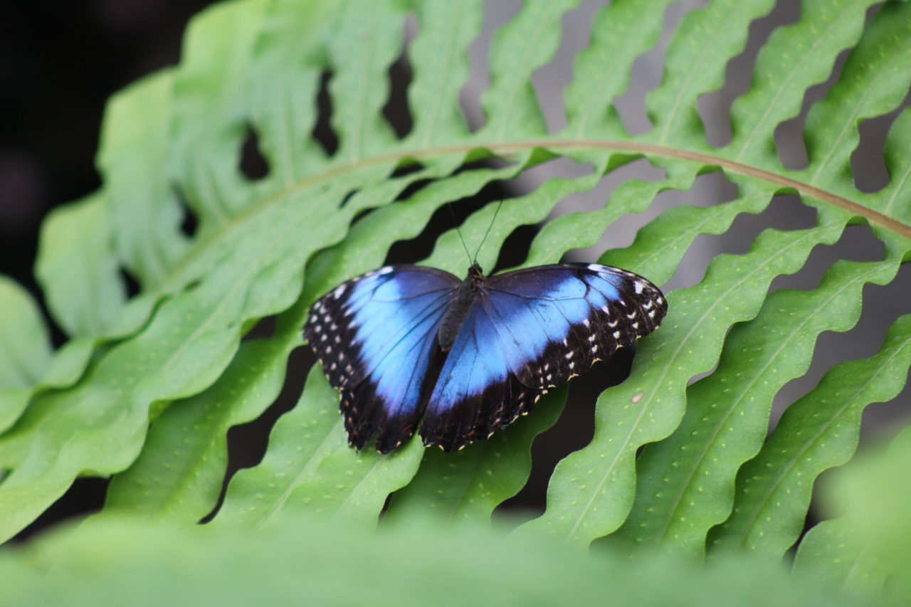 Blue morpho – Brut de Pomme