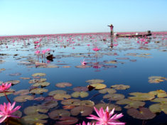 Red Lotus Sea, Kumphawapee, Thailand