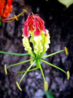 Beautiful Gloriosa Superba Flower