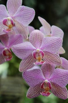 Mauve orchidée – Brut de Pomme