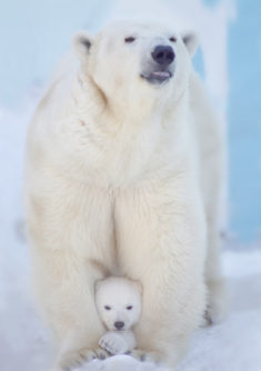 Polar Bears – Most Beautiful Picture