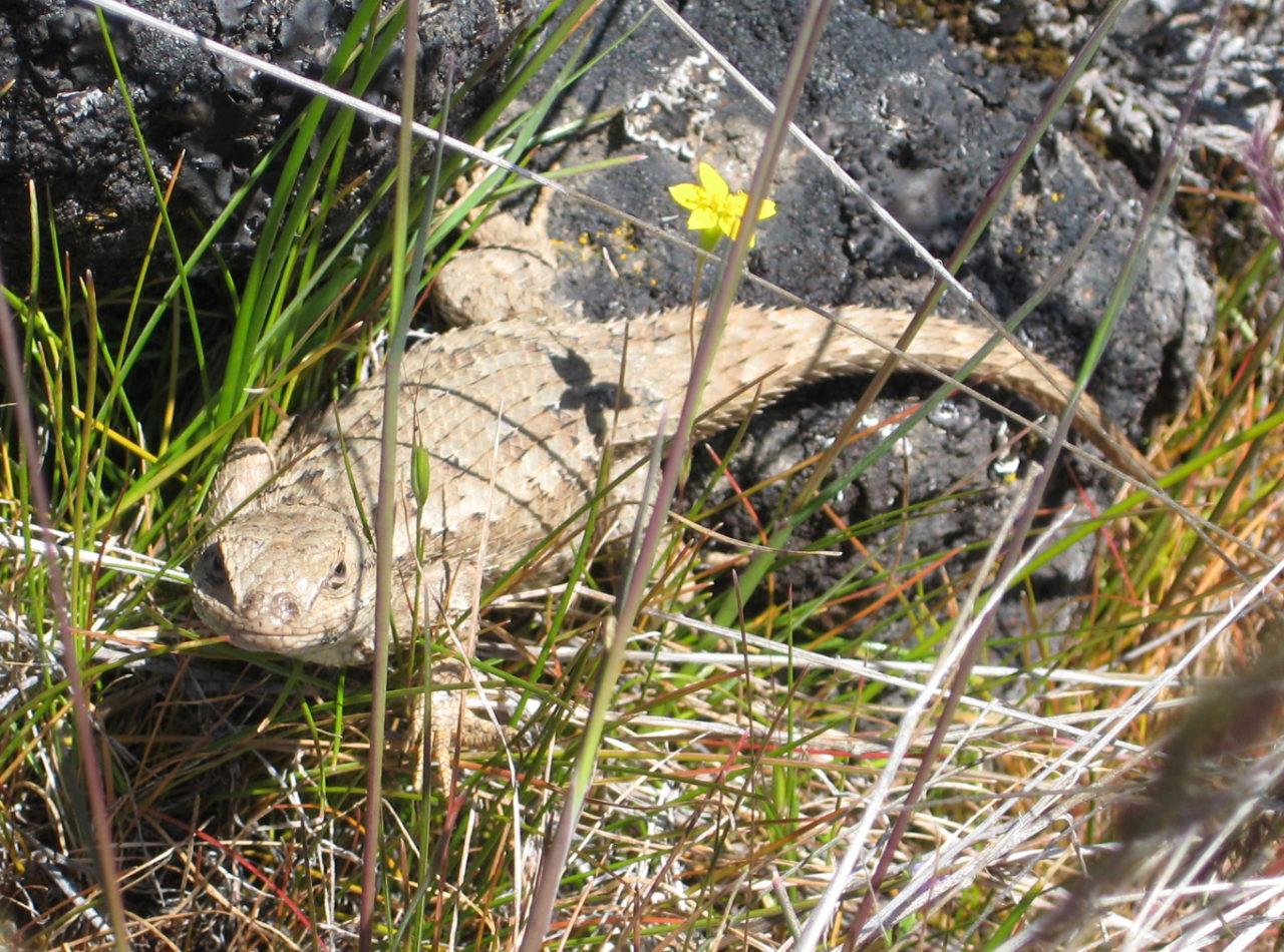 Western fence lizard, Lower Table Rock, Oregon