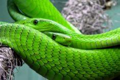 Green snakes