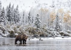Grizzly bear crossing a stream, Canada – Most Beautiful Picture
