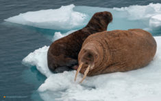 Walruses on ice, Svalbard, Norway
