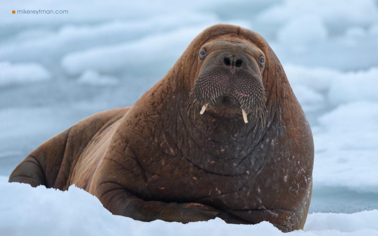 Walrus on ice, Svalbard, Norway