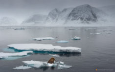Walrus on ice, Svalbard, Norway