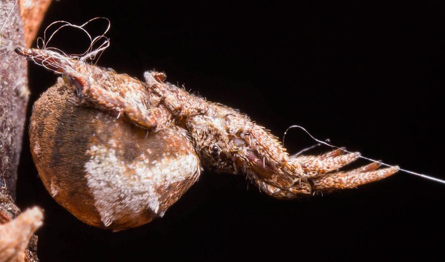 Hyptiotes cavatus