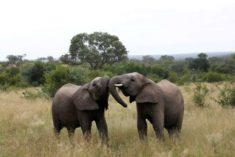 Elephants in the Kruger National Park, South Africa