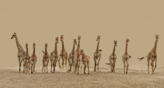 Giraffes – Most Beautiful Picture