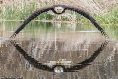 Huge Bird of Prey Looks Directly at Camera as It Swoops Over Lake in Stunning Photo •