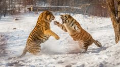 Tiger fight – Most Beautiful Picture