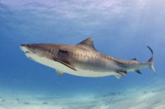 Tiger shark, Bahamas