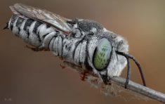 Celioxis Bee