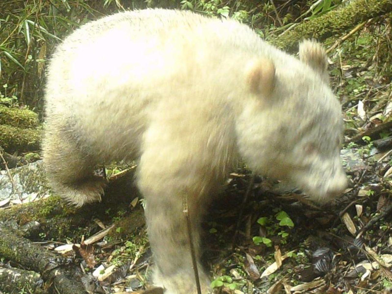 Albino-Panda in Wolong National Nature Reserve in Sichuan, China