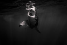 Great white shark open mouth – Most Beautiful Picture