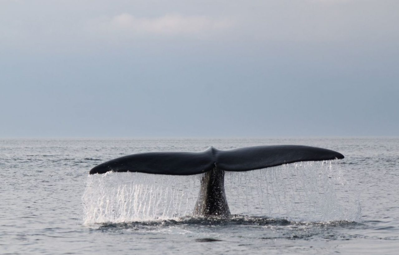 North Atlantic right whale, or black whale