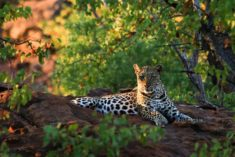 Leopard in the Kruger National Park, South Africa