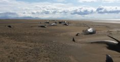 Islande : une cinquantaine de baleines meurent échouées sur une plage