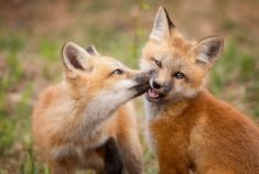 Fox kissing – Most Beautiful Picture