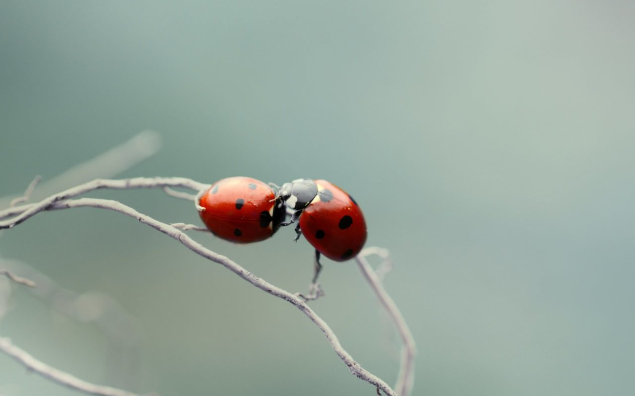 Kiss of ladybugs – Most Beautiful Picture