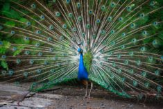 Peacock – Most Beautiful Picture