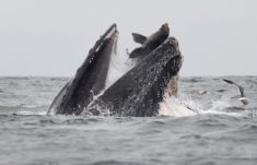 Une baleine à bosse avale un lion de mer ! – Les Baleines
