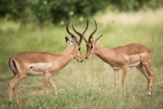 Antelopes – Most Beautiful Picture