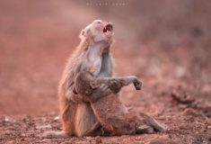 Despair of a monkey mom, Jabalpur, India – Most Beautiful Picture