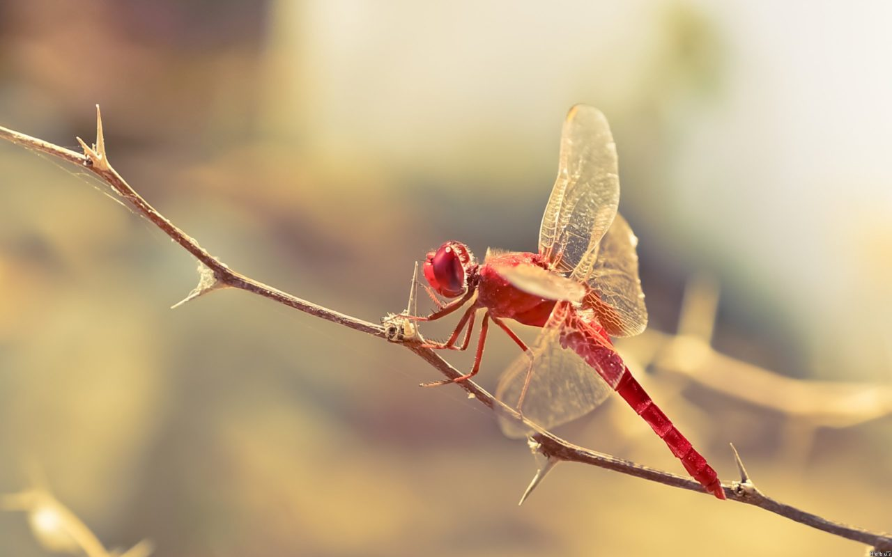 Red dragonfly – Most Beautiful Picture