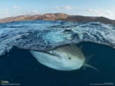 Whale shark, Djibouti – Most Beautiful Picture