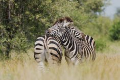 Zebras – Most Beautiful Picture