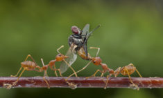 Red ants killing a fly