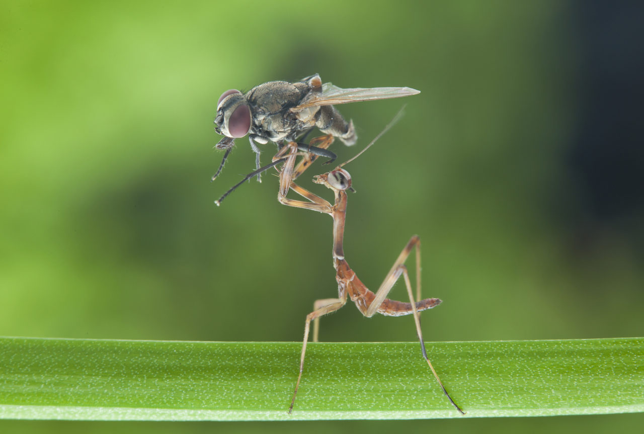 Mantis killing a fly