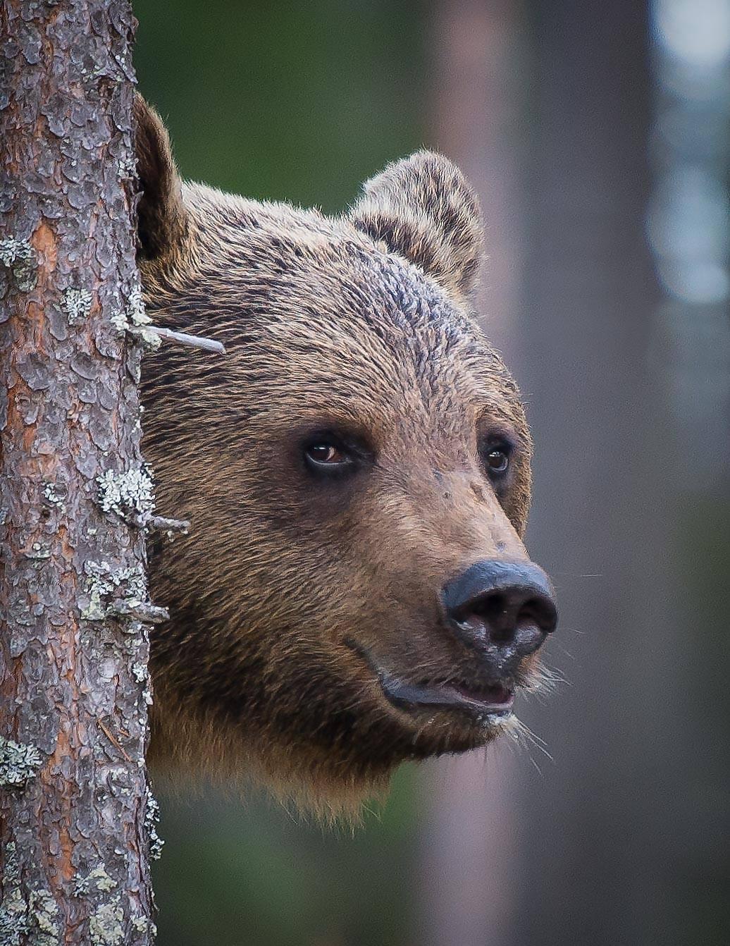 Bear surprise, Finland