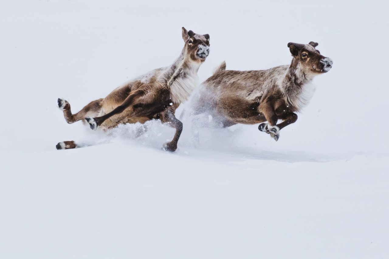 Deers in snow – Most Beautiful Picture