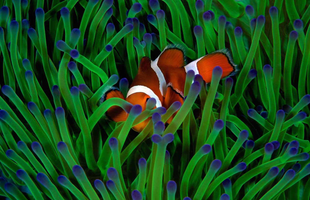 Fish in anemones – Most Beautiful Picture