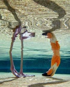 Flamingo underwater – Most Beautiful Picture