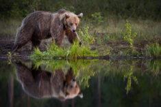 Bear, Karelia