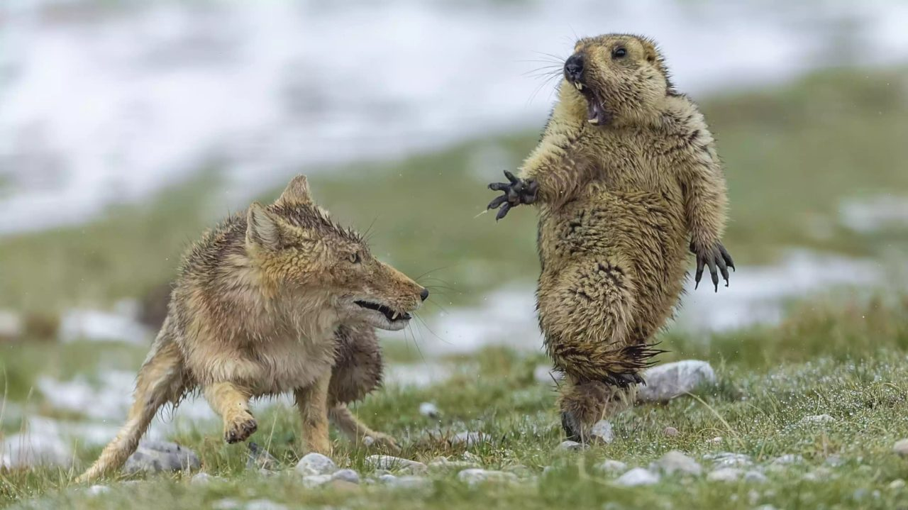 Fox surprising a marmot, Tibet, China – Most Beautiful Picture
