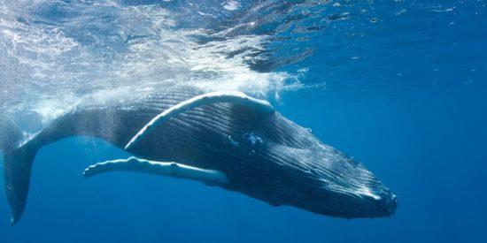 Baleine à bosse – Les Baleines