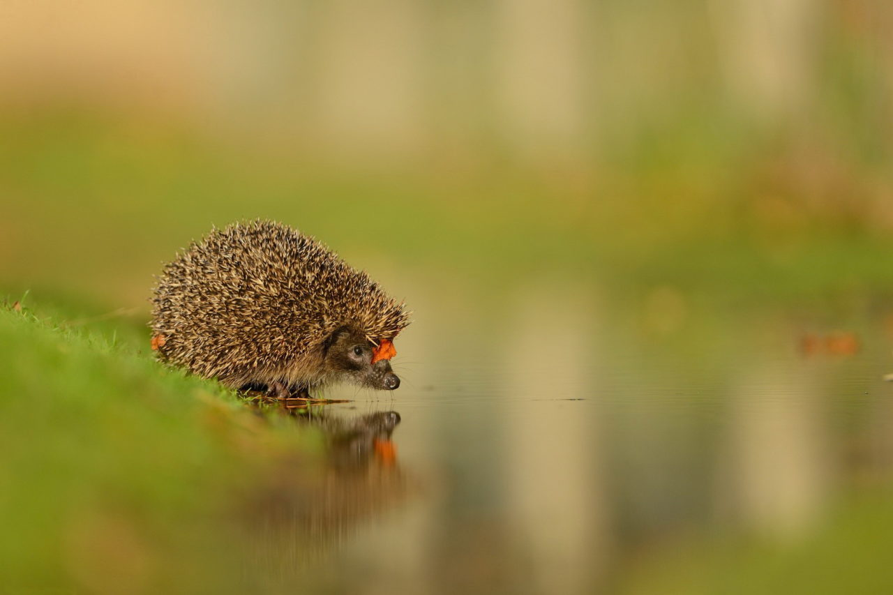 Hedgehog at the water – Most Beautiful Picture